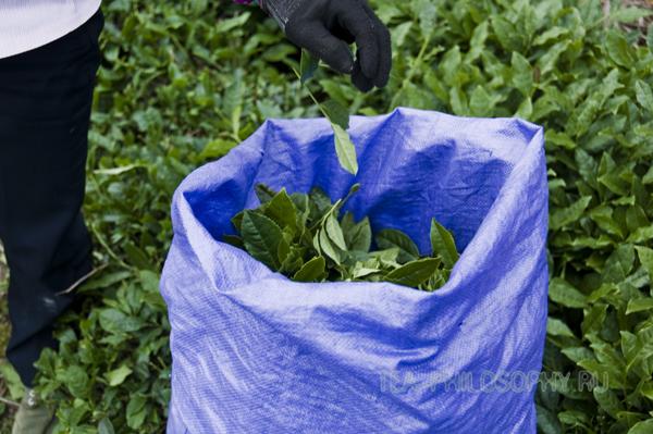 Сбор чайных листьев Те гуань Инь (Тегуаньинь)
