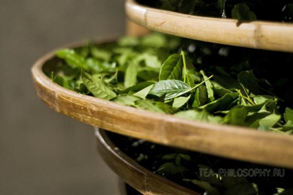 Ферментация на бамбуковых подносах чая Тегуанинь