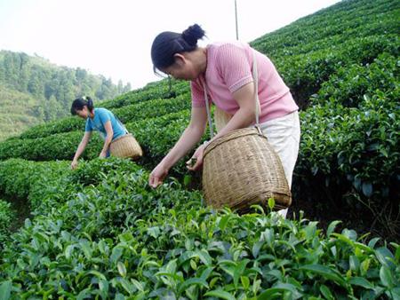 Сбор китайского чая