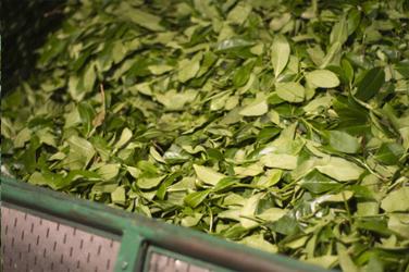 Завяливание чайных листьев